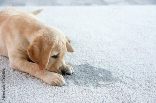 Cuadros en Lienzo  Cute puppy lying on carpet near wet spot