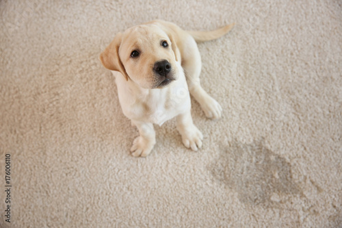 fototapeta na lodówkę Cute puppy sitting on carpet near wet spot