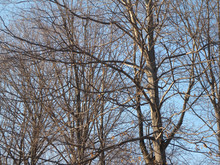 Naked Trees In Winter Over Blue Sky