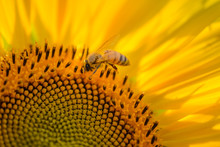 Honeybee At Work On A Sunflower