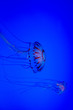 canvas print picture - Jellyfish with blue background
