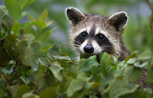 Juvenile Raccoon Climbing In A...