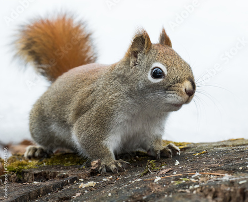 Fotografija  Concerned red squirrel worries the path to his cache is blocked
