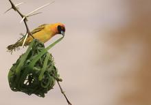 Vitelline Masked Weaver Bird N...