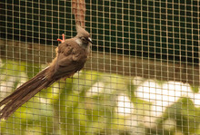 Speckled Mousebird Called Coli...