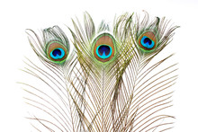 Peacock. Peacock Feathers On W...