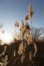 Pampas Grass Plants At Sunset, With Beautiful, Warm Colors