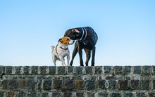 Romantic Meeting Of The Little Dog Jack Russell Terrier With A Big Dog On A Stone Wall Against A Blue Sky