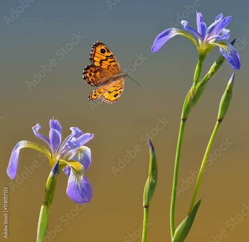Fotografie, Obraz  Schmetterling mit zwei blauen Wasserlilien
