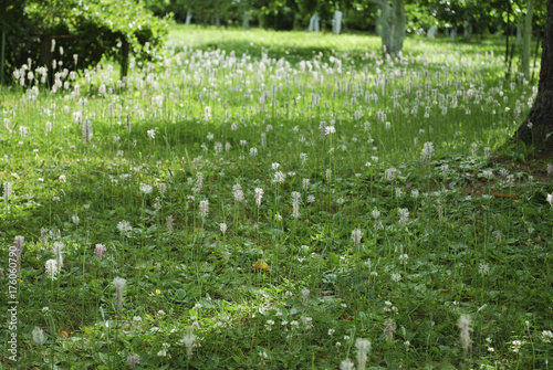 Fotografía Meadow of Plantago major (broadleaf plantain, white man's foot, or greater plantain) white flowers