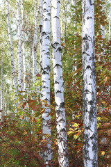 Panel Szklany Podświetlane Brzoza Beautiful birches in forest in early autumn