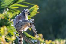 Lemur Maki Catta Of Madagascae...