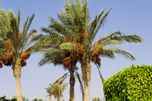 Date Palms Against The Sky