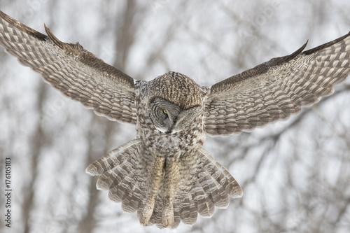 Keuken foto achterwand Uil great grey owl in winter