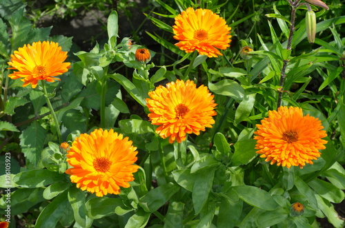 Blooming calendula (lat. Calendula officinalis) in the garden