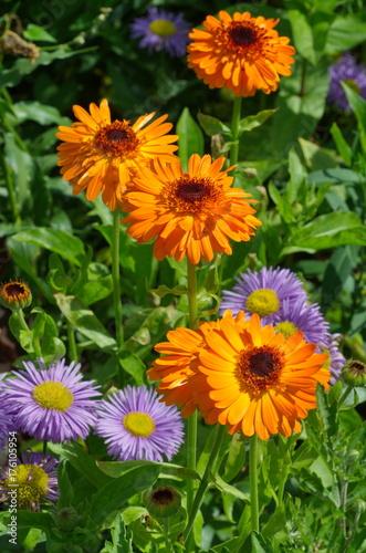 Plakat Calendula kwiaty (lat Calendula officinalis) w ogródzie