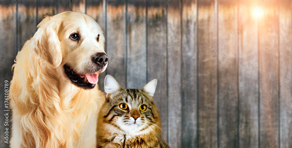 Fototapety, obrazy: Cat and dog, siberian kitten , golden retriever together on wooden background