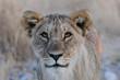 Junger Löwe Kopf Portrait, Etosha Nationalpark, Namibia, (Panthera leo)