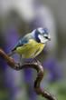 canvas print picture - Blaumeise (Cyanistes caeruleus) sitzt auf einem Ast