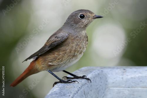 Fotografía  Hausrotschwanz (Phoenicurus ochruros) steht am Vogelbad