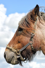 Headshot In Profile Of A Brown Horse, Outside Against A Blue Cloudy Sky