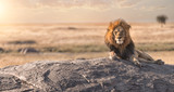 Fototapeta Sawanna - A male lion is sitting on the top of the rock in Serengeti nation park,Tanzania