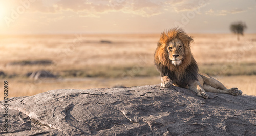In de dag Leeuw A male lion is sitting on the top of the rock in Serengeti nation park,Tanzania
