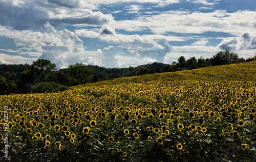 Paesaggio con campo di girasoli – kaufen Sie dieses Foto und finden ...