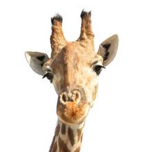 Portrait Of Cute Giraffe On Wh...