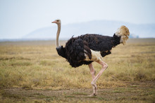 Running Ostrich - Serengeti National Park - Tanzania