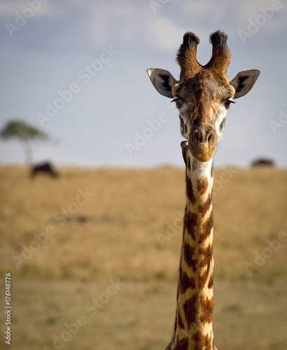 Fotomural Close up of a giraffe staring at viewer with oxpecker bird on neck