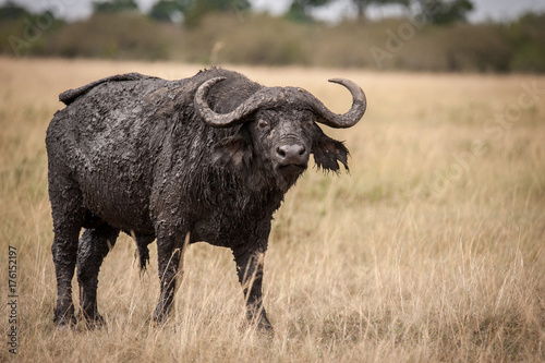 Fotografie, Obraz  Aggressive lone buffalo, a general, standing at attention, Masai Mara, Kenya