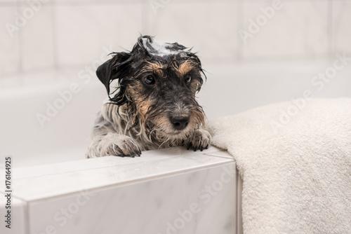 Hund Beim Baden In Der Badewanne Jack Russell Terrier Buy This