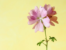 Pink Mallow Flowers With Five ...