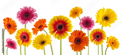 Fotobehang Gerbera colorful gerbera flowers isolated can be used as background