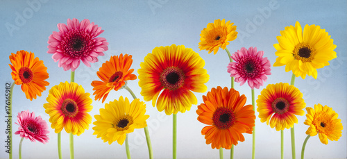 Ingelijste posters Gerbera colorful gerbera flowers isolated can be used as background