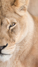 Portrait Of Beautiful Lioness