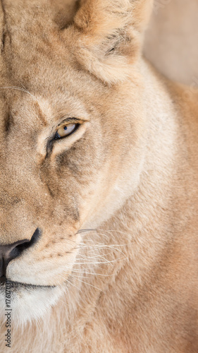 Photo Portrait of beautiful lioness