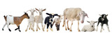 goat, kid, ewe and lambs - 176170782