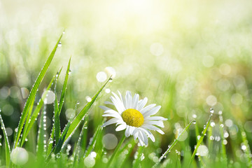 Fresh green grass with dew drops and daisy on meadow closeup. Spring season.Natural background.
