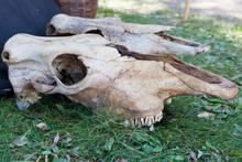 Old Big Animal Skull On Grass