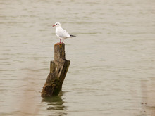 Single White Seagull Standing ...