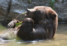 Brown Bear Nibbling On A Twig ...
