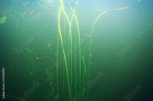 Plakat zielona trawa pod wodą