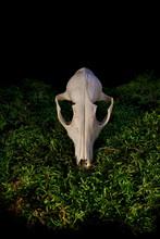 Halloween Animal Skull On Green Forest Moss.