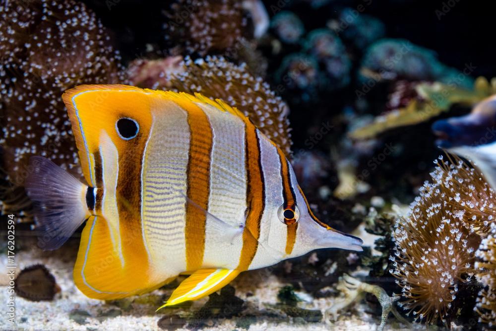 Photo & Art Print Kupferstreifen-Pinzettfisch (Chelmon rostratus ...