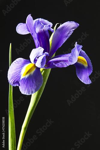 Foto op Canvas Iris flor iris en fondo negro