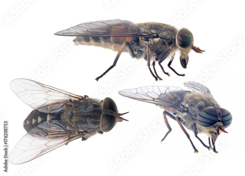 three pale giant horse-flies isolated on white background