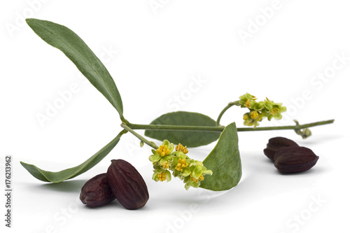 Valokuva  Jojoba (Simmondsia chinensis) flower, leaves and seeds on White background