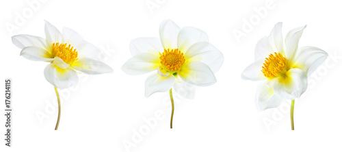 Flowers set of three white dahlias with a yellow core with different  various perspective isolated on white background. Ornamental garden plant flower dahlias close-up macro.